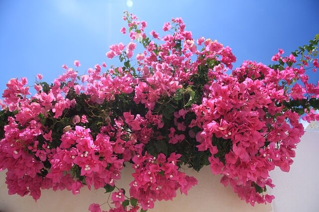 Bougainvillea pink with lots of flowers on a white wall