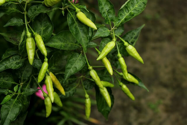 Chilli plant with green chillies