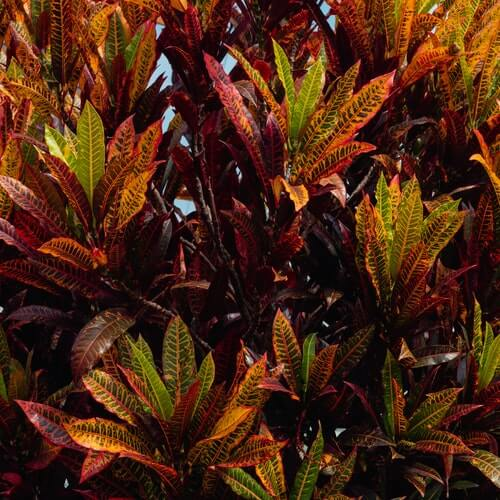 Crotons Plant Care