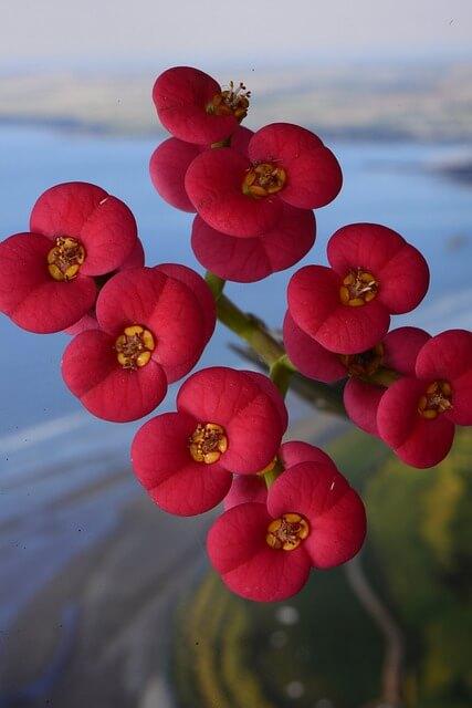 Crown of thorns/euphorbia milee pink flowers zoomed
