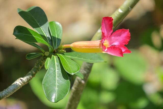 Desert Rose, as the name suggest, survives in the desert heat.