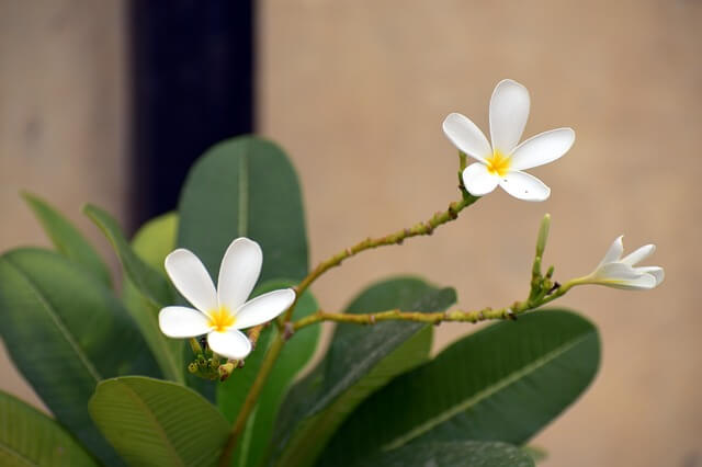 frangipani plumeria with white flower. This plant can survive extreme heat