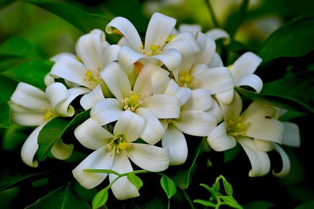 Murraya Paniculata (Orange Jasmine) flowers