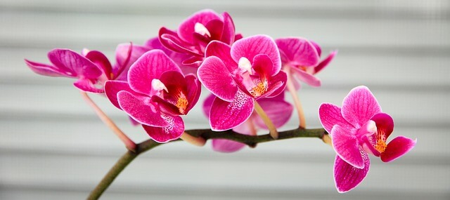 orchid pink indoor flowering plant