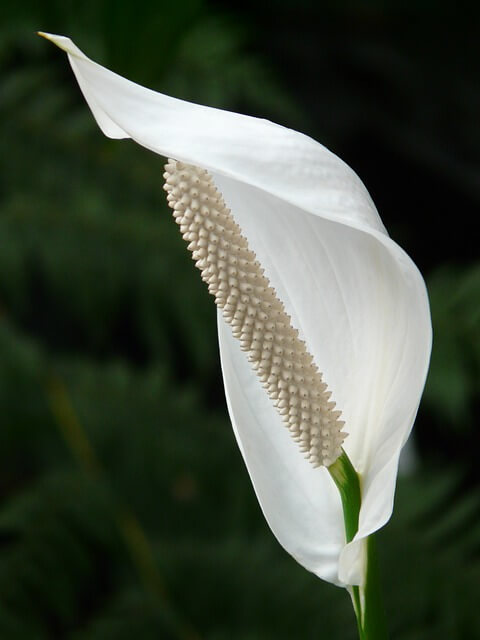 Peace Lily spathe flower zoomed in