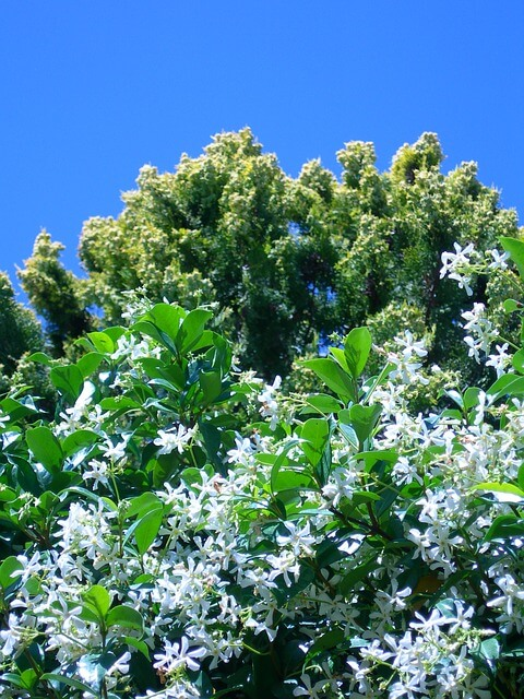 star jasmine with white flowers outdoors