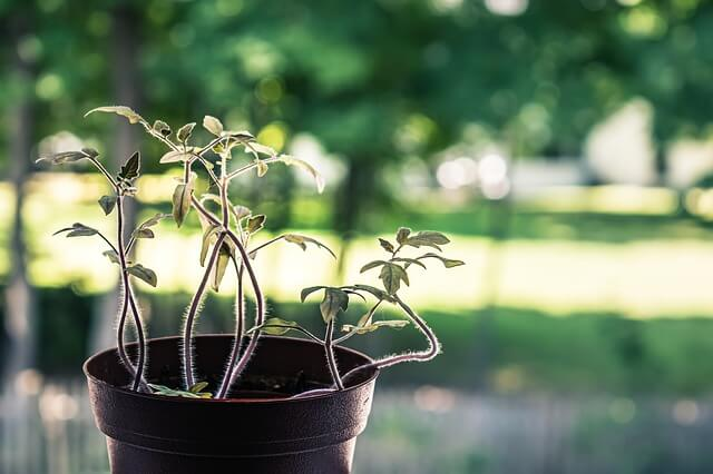 Once the seed has germinated and the foliage growth has started, you can begin to transfer this young tomato plant into its final destination - the big pot/container where it will grow and thrive.