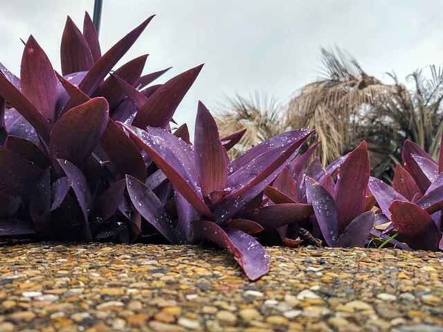 tradescantia pallida also called purple-heart will survive extreme summers