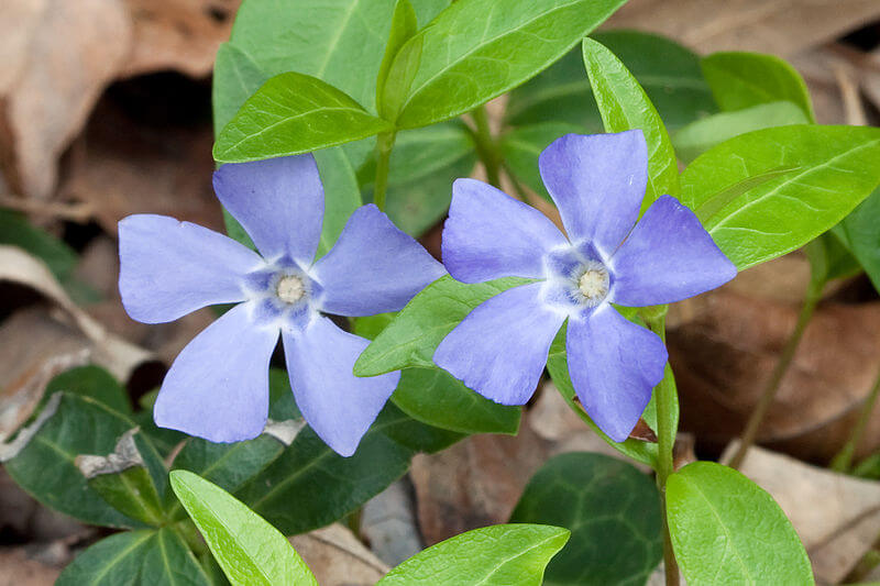 vinca-minor-with-flower